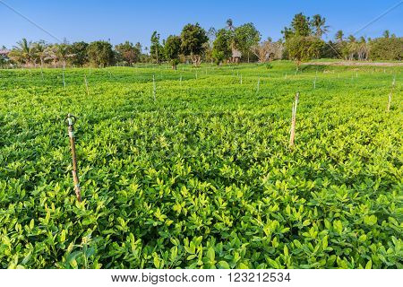 Peanut field Groundnut field on ground in vegetable garden.