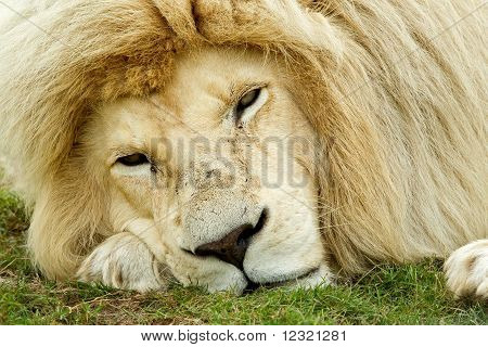 Sleepy Looking White Lion