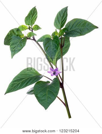 Flowering pepper (Capsicum Annuum) Bolivian Rainbow variety. Clipping path