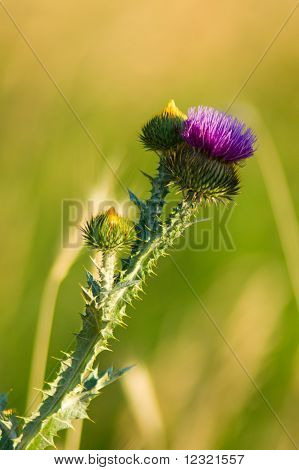 Wild Thistle in sunlight