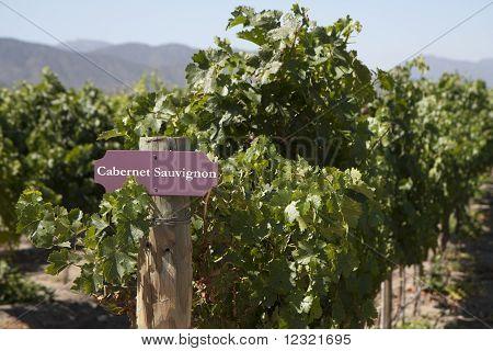 Vineyard - Cabernet Sauvignon