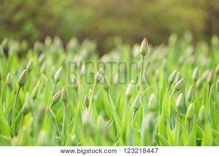 unopened tulips in city flowerbed springtime, closeup