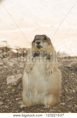 Funny marmot looking curiously on a sunny day close-up ** Note: Soft Focus at 100%, best at smaller sizes