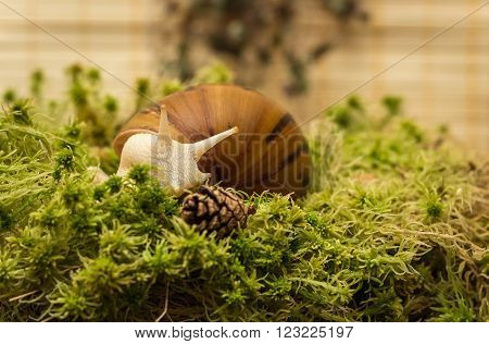 Snail-albino, Achatina Achatina, White tiger, in sphagnum moss. Shallow depth of field, focus on the eye of a snail.