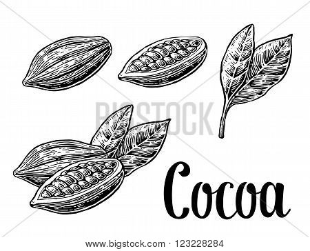 Leaves and fruits of cocoa beans. Vector engraved illustration. Black on white background.