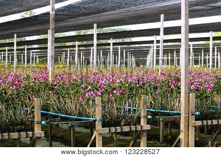 Orchid garden in tropics relaxing environment where exquisite orchids bloom throughout the year.