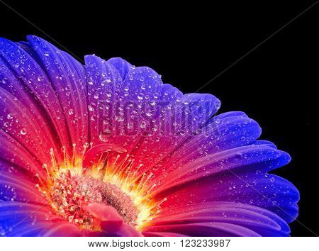 detail of a wet vibrant colored gradient gerbera flower in black back