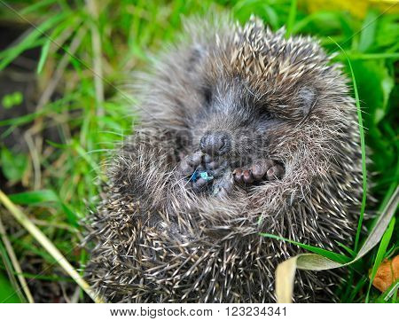 Western European Hedgehog (Erinaceus) curled up into a ball