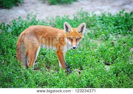 Red Fox Cub on green grass. Looks at camera