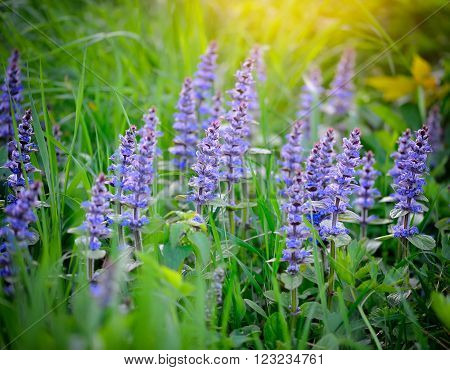 Spring meadow with flowers (Ajuga reptans) natural background