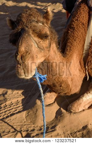 Old camel on Sahara Desert Merzouga Morocco.