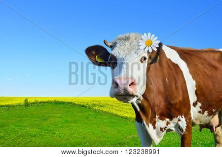 Young cows grazing on a green meadow