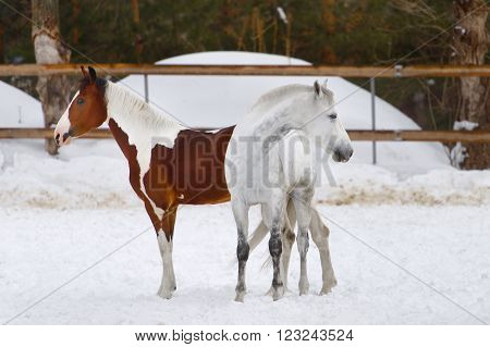 Horses Walking In The Paddock In Winter
