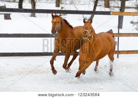 Happy red horses running in the paddock in cold winter