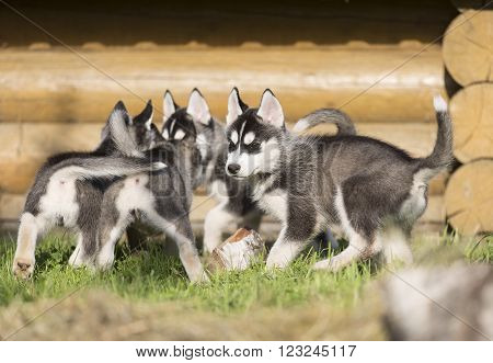 Siberian Husky puppies on the grass in the park