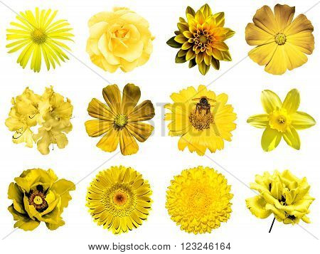 Mix collage of natural and surreal yellow flowers 12 in 1: peony, dahlia, primula, aster, daisy, rose, gerbera, clove, chrysanthemum, cornflower, flax, pelargonium isolated on white
