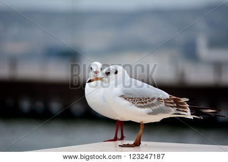 Seagulls on Baku Bulvar. Two birds sit on Baku's iconic boulevard, with a pier out of focus in the background