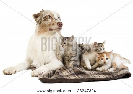 Kuril Bobtail and Australian Shepherd on white background