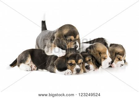 five puppies beagle isolated on white background
