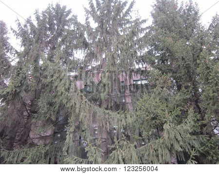 The big coniferous trees directed in the sky grow in the city about an office building