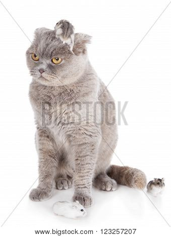 cat with hamsters on white studio background