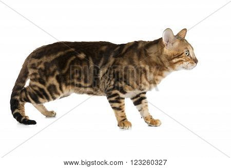 Bengal cat on white background in studio