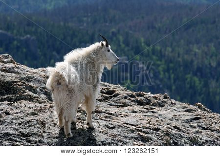 Mountain Goat on Harney Peak in the Black Hills of South Dakota USA