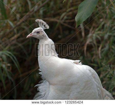Albino Peacock In Mountains Outside Adelaide Australia