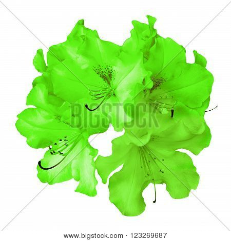 Bush Of Natural Green Pelargonium Flowers Isolated On White