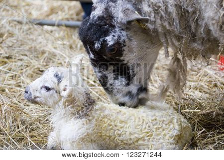 Sheffield, UK - 16 April 2014: Mother ewe licking clean her newborn baby lamb on 16 April at Whirlow Hall Farm, Sheffield