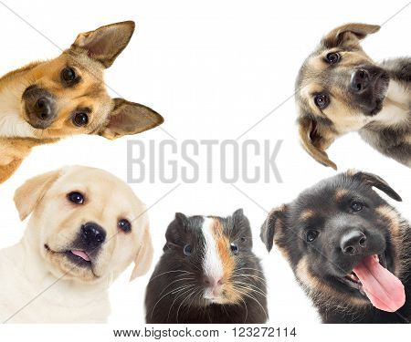 puppy and guinea pig watching on a white background