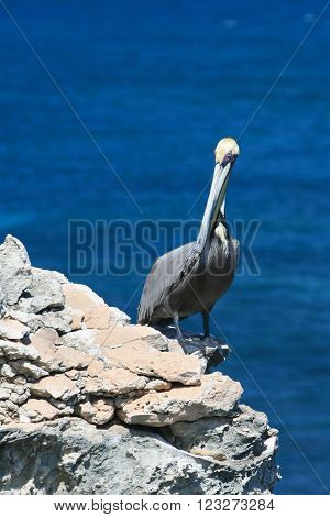 Pelican at Punta Sur (south point) on the small Mexican Island of Isla Mujeres across from Cancun Mexico
