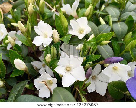 White Vinca Flowers And Green Vinca Leaves