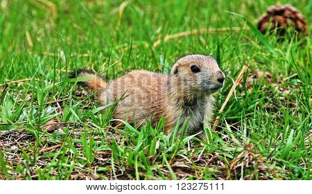 Prairie Dog Pup in Theodore Roosevelt National Park in the North Dakota Badlands USA