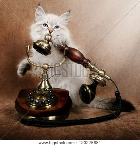 Siberian kitten with retro telephone on brown velvet
