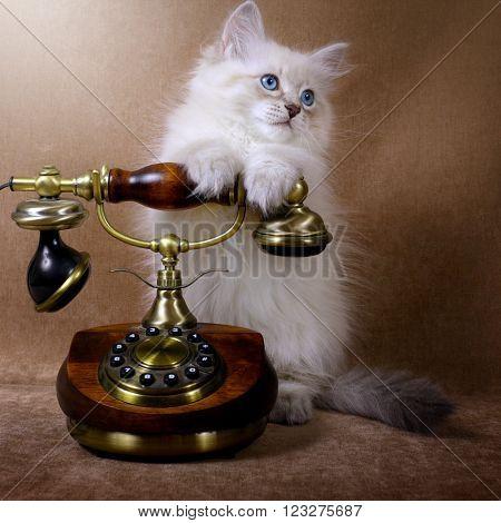 Siberian kitten with retro telephone on brown velvet