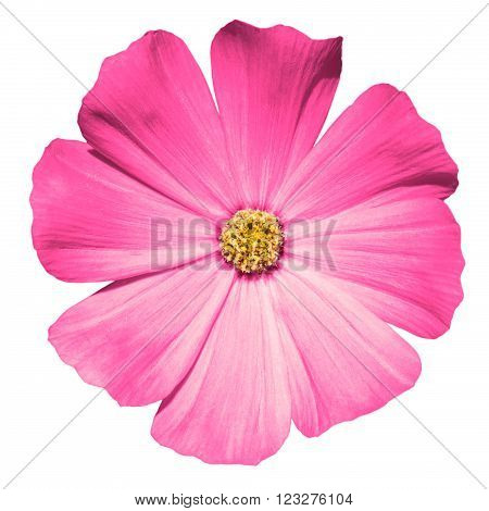 Pink Flower Primula Macro Isolated On White