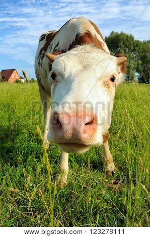 Cow on a summer pasture standing and looking at photographer