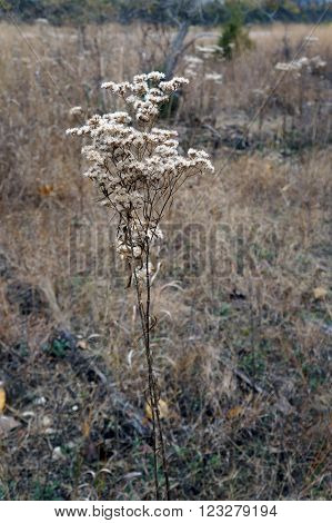 An aster plant, gone to seed in a meadow in the Lake Renwick Heron Rookery Nature Preserve in Plainfield, Illinois, during the autumn.
