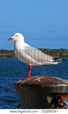 Seagull in Port Albert seaside Harbor Victoria Australia