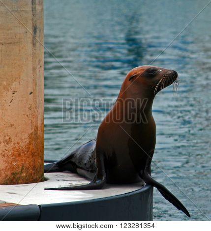 Seal on dock in Alamitos Bay in Long Beach California USA