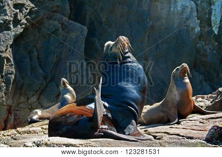 Male Seal basking in the sun on Los Arcos (Arches at Lands End) on Cabo San Lucas Baja Mexico