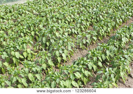 Rows Of Sweet Pepper In Garden