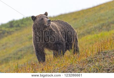Grizzly Bear Sniffing the Air in the Rain in the Tundra of Denali National Park in Alaska