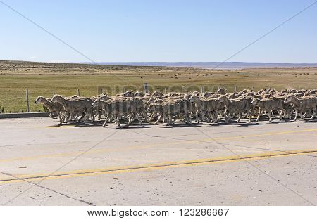 Herd of Sheep Heading Down a Road in Patagonia ** Note: Visible grain at 100%, best at smaller sizes