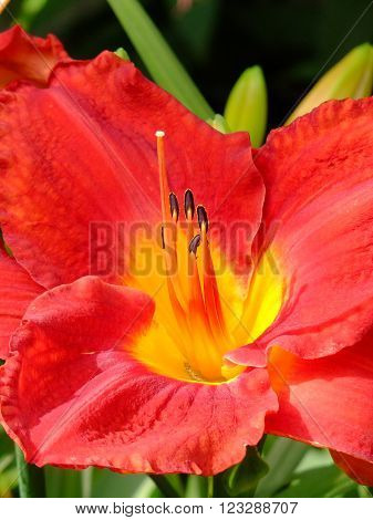 Closeup of the reproductive organs of a Day Lily