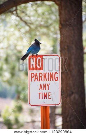 Steller's Jay Sitting on a No Parking Sign with Pine Trees in the Background. ** Note: Visible grain at 100%, best at smaller sizes