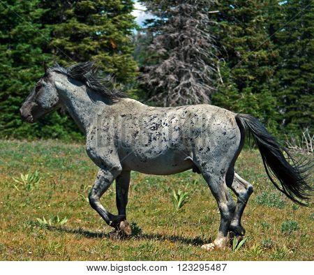 Wild Horse Mustang Gray Grulla Roan Stud Stallion in the Pryor Mountains Montana USA
