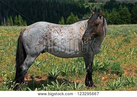 Wild Horse Mustang Stallion Stud in the mountains of Montana USA