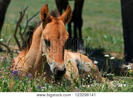Wild Horse Mustang Buckskin Baby Colt Foal in the Pryor Mountains of Montana USA